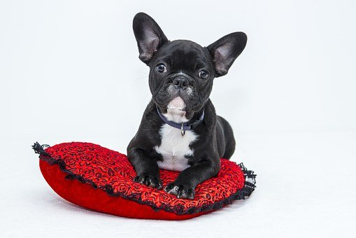 Bulldog, Dog, Puppy, Pet, Black Dog