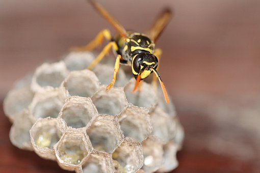 Wasp, Hornet, Insect, Bee, Animal