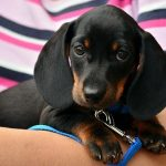 Puppies for Sale in Meadville PA