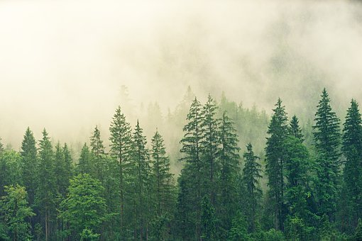 Fog, Coniferous Forest, Spruce, Forest