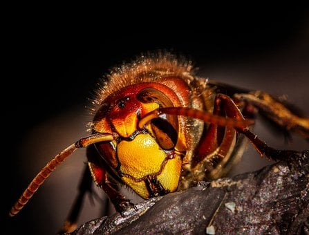 Hornet, Hornets, Wasps, Wasp, Insects