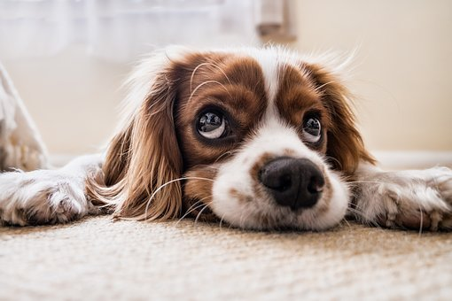 white and brown cockerspaniel
